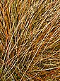 BCM Gräser »Segge brunnea 'Camara' ®« Spar-Set, Lieferhöhe: ca. 30 cm, 1 Pflanze, Bild 2