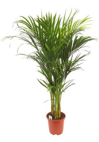 Dominik Zimmerpflanze »Goldfruchtpalme« 90 cm ...