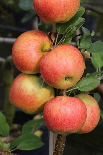 Obstbaum »Apfel Elstar« | Garten > Pflanzen > Pflanzen | BCM