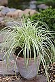 BCM Gräser »Segge brunnea 'Camara' ®« Spar-Set, Lieferhöhe: ca. 30 cm, 4 Pflanzen, Bild 2