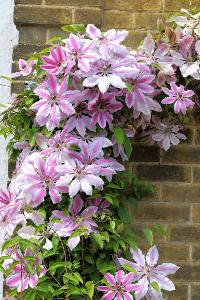 BCM Beetpflanze »Clematis Nelly Moser«, 2 Pflanzen