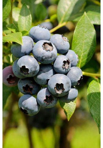 BCM Obstpflanze »Heidelbeere Chandler« 40 ...