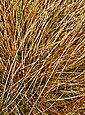 BCM Gräser »Segge brunnea 'Camara' ®« Spar-Set, Lieferhöhe: ca. 30 cm, 2 Pflanzen, Bild 2