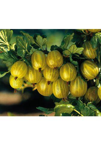 BCM Obstpflanze »Stachelbeere Hinnonmäki« ...