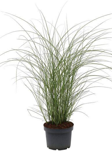 BCM Gräser »Chinaschilf sinensis 'Gracillimus'«, Lieferhöhe ca. 60 cm, 1 Pflanze
