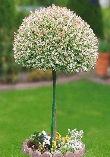 BCM Gehölze »Zierweiden Stämmchen Hakuro-Nishiki«, Höhe: 60 cm, 1 Pflanze