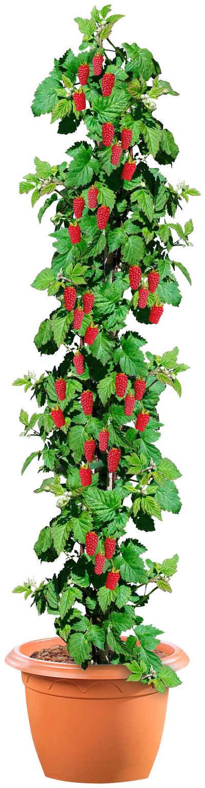 BCM Obstpflanze »Säulenobst Himbeere«, 50 cm Lieferhöhe
