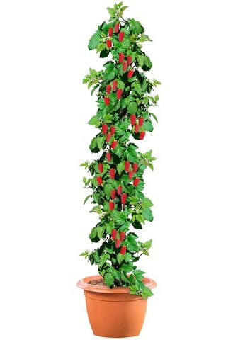 BCM Obstpflanze »Säulenobst Himbeere« 50 c...