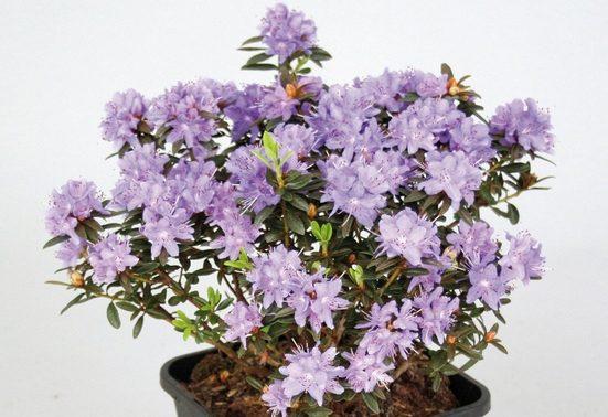 BCM Hecken »Rhododendron Maggie«