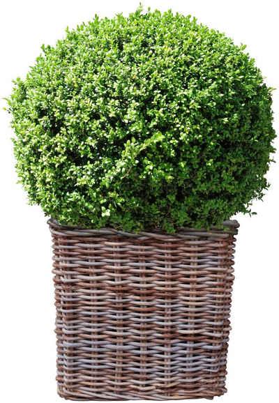BCM Gehölze »Buchsbaum Kugel«, Höhe: 25 cm, 1 Pflanze