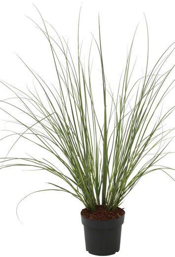 BCM Gräser »Pampasgras selloana 'Citaro'« Spar-Set, Lieferhöhe ca. 60 cm, 3 Pflanzen