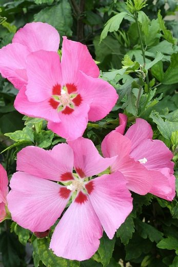 BCM Hibiscus »Woodbridge«, Höhe: 50 cm, 1 Pflanze