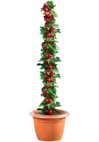 BCM Obstpflanze »Stachelbeere Hinnonmaki r...