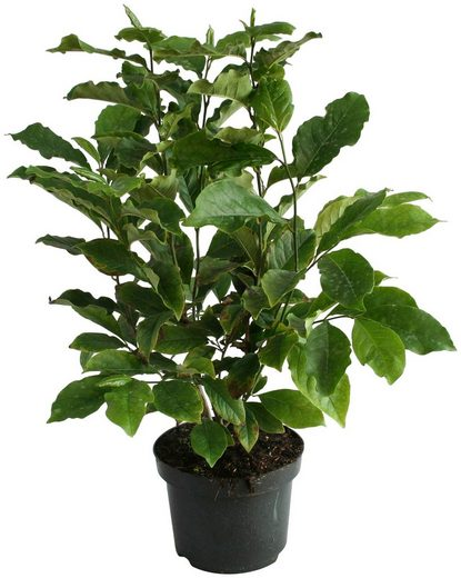 BCM Gehölze »Magnolie 'Black Beauty'«, Lieferhöhe ca. 100 cm, 1 Pflanze