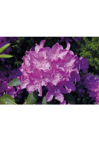 BCM Hecken »Rhododendron Roseum Elegans«