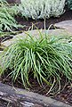 BCM Gräser »Segge brunnea 'Camara' ®« Spar-Set, Lieferhöhe: ca. 30 cm, 4 Pflanzen, Bild 1