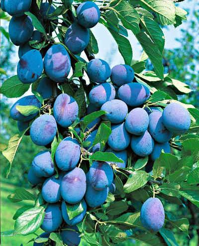 BCM Obstpflanze »Säulenobst Pflaume Imperial«