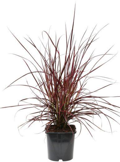 BCM Gräser »Lampenputzergras x advena Fireworks« Spar-Set, Lieferhöhe ca. 40 cm, 3 Pflanzen