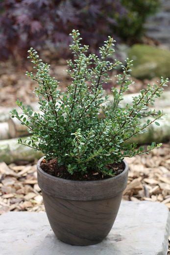 BCM Hecken »Stechpalme Glory Gem«, Höhe: 20-25 cm, 3 Pflanzen