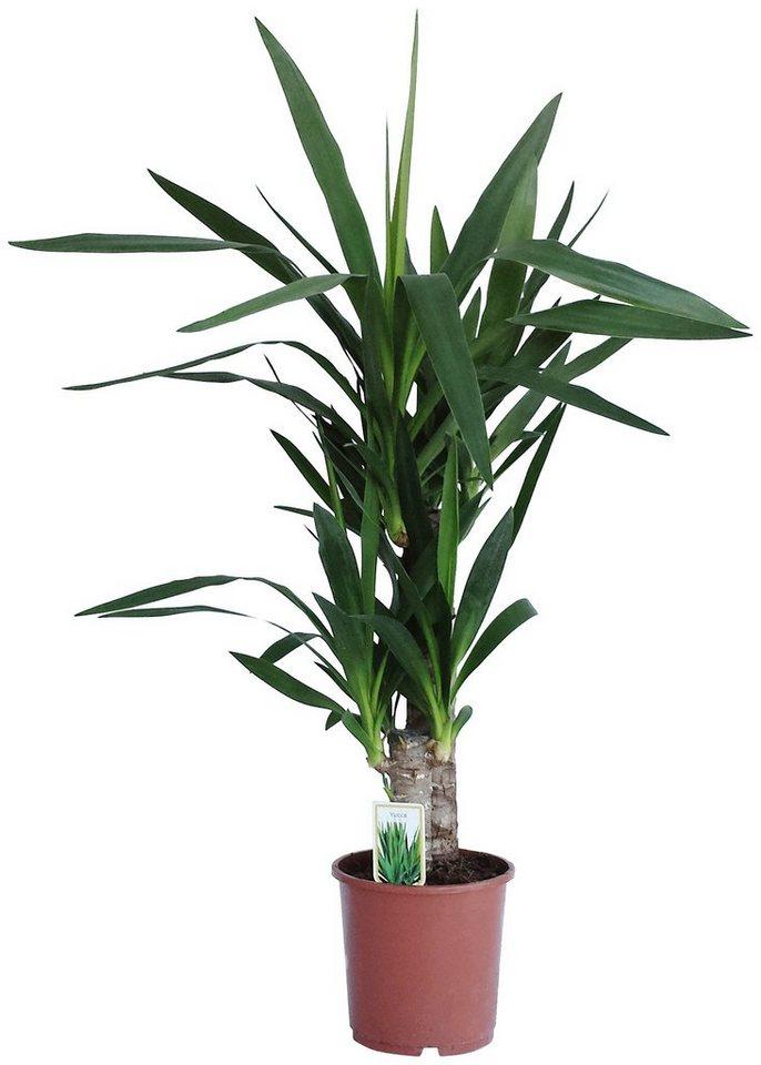 DOMINIK Zimmerpflanze »Yucca-Palme«, Höhe: 60 cm, 1 Pflanze online kaufen    OTTO