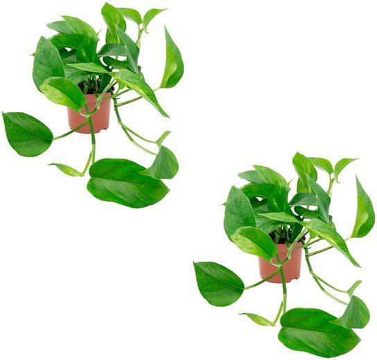 DOMINIK Zimmerpflanze »Efeututen«, Höhe: 30 cm, 2 Pflanzen