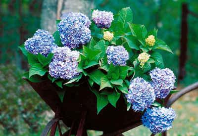 BCM Gehölze »Hortensie Endless Summer®«, blau