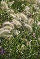 BCM Gräser »Lampenputzergras Mix (3 Sorten)« Spar-Set, Lieferhöhe ca. 40 cm, 3 Pflanzen, Bild 2