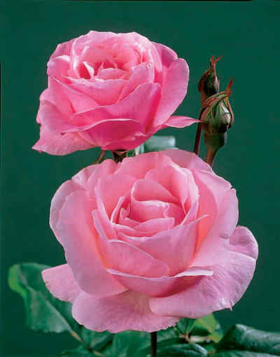 BCM Beetpflanze »Rose The Queen Elizabeth«