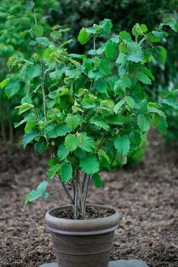 BCM Haselnuss »Webbs Preisnuss«, Höhe: 60-80 cm, 1 Pflanze