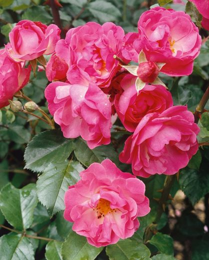 BCM Beetpflanze »Bodendeckerrose Pink Harmony«