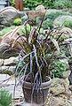 BCM Gräser »Lampenputzergras x advena 'Rubrum'« Spar-Set, Lieferhöhe ca. 40 cm, 3 Pflanzen, Bild 2