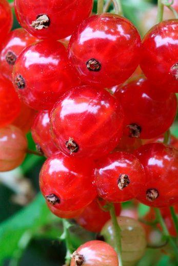 BCM Johannisbeere »Red Poll«, Höhe: 30-40 cm, 1 Pflanze